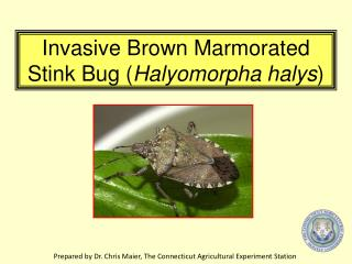 Invasive Brown Marmorated Stink Bug ( Halyomorpha halys )