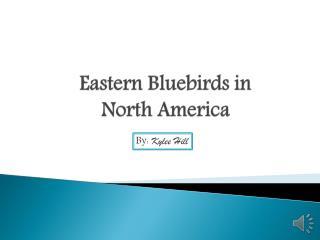 Eastern Bluebirds in North America