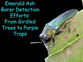 Emerald Ash Borer Detection Efforts:   From Girdled Trees to Purple Traps