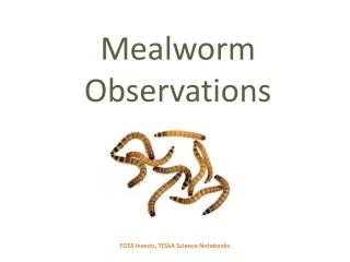Mealworm Observations