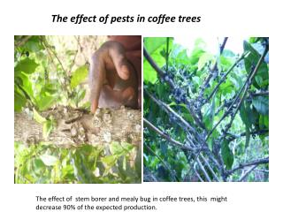 The effect of pests in coffee trees