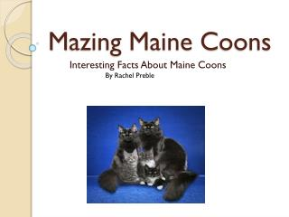 M azing Maine C oons