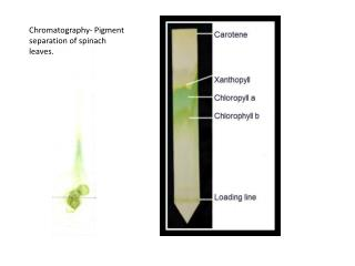 photosynthesis spinach rf value