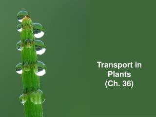 Transport in  Plants (Ch. 36)
