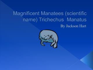 Magnificent Manatees (scientific name) Trichechus Manatus