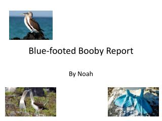 Blue-footed Booby Report