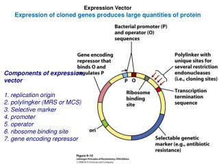 Expression Vector Expression of cloned genes produces large quantities of protein