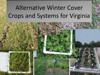 Alternative Winter Cover Crops and Systems for Virginia