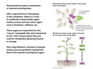 Photosynthesis leads to production of reduced carbohydrates. G3P is exported from chloroplasts