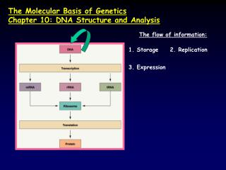 The Molecular Basis of Genetics Chapter 10: DNA Structure and Analysis
