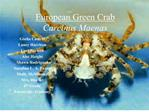 European Green Crab  Carcinus Maenas