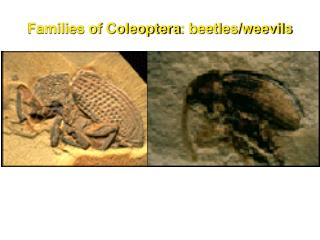 Families of  Coleoptera : beetles/weevils