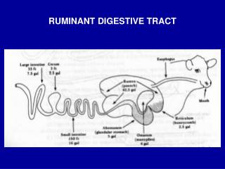RUMINANT DIGESTIVE TRACT