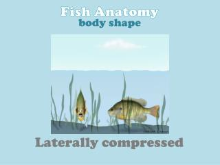 Laterally compressed