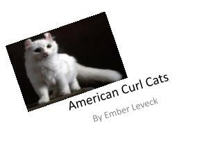 American Curl Cats