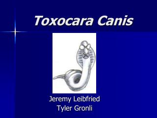 Toxocara Canis