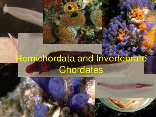 Hemichordata and Invertebrate Chordates