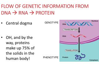 Flow of Genetic Information from  DNA   RNA  Protein