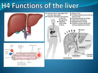 H4 Functions of the liver