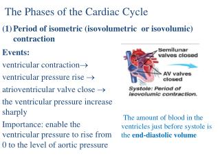 The Phases of the Cardiac Cycle Period of isometric ( isovolumetric  or  isovolumic ) contraction