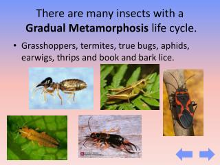 There are many insects with a Gradual Metamorphosis  life cycle.