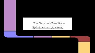The Christmas Tree Worm ( Spirobranchus giganteus)