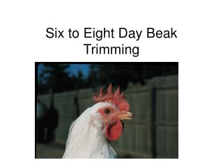 Six to Eight Day Beak Trimming