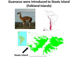 Guanacos were introduced to  Staats  Island (Falkland Islands)