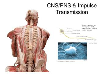 CNS/PNS & Impulse Transmission