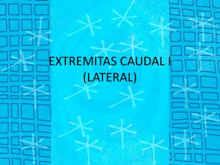 EXTREMITAS CAUDAL I (LATERAL)