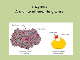 Enzymes  A review of how they work