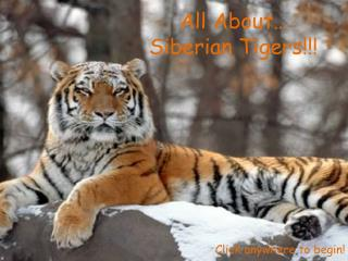 All About… Siberian Tigers!!!