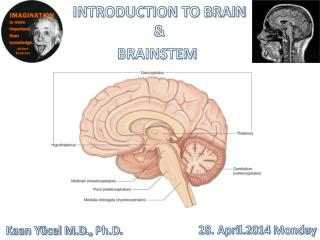 INTRODUCTION TO BRAIN & BRAINSTEM
