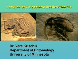 Families of Coleoptera: beetles/weevils