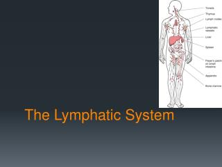 The Lymphatic Syste m