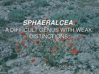 SPHAERALCEA : A DIFFICULT GENUS WITH WEAK DISTINCTIONS