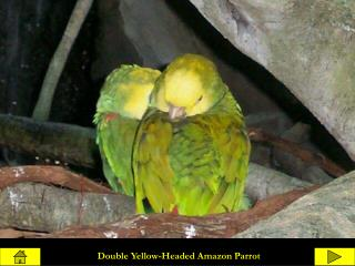 Double Yellow-Headed Amazon Parrot