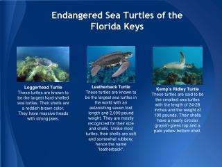Endangered Sea Turtles of the Florida Keys