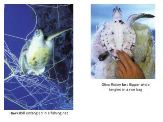 Olive Ridley lost flipper while tangled in a rice bag