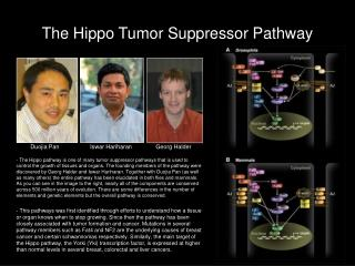 The Hippo Tumor Suppressor Pathway