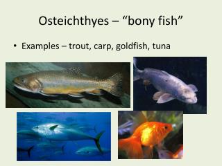 "Osteichthyes – ""bony fish"""