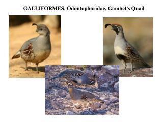 GALLIFORMES,  Odontophoridae ,  Gambel's  Quail