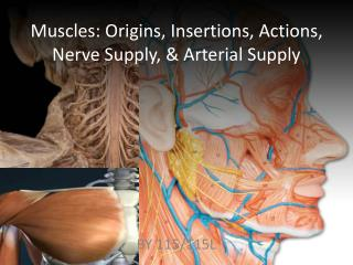 Muscles: Origins, Insertions, Actions, Nerve Supply, & Arterial Supply