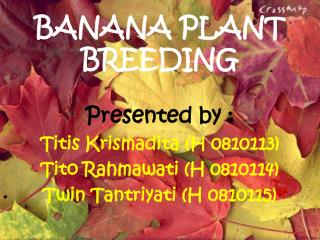 BANANA PLANT BREEDING