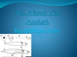 All About The Axolotl