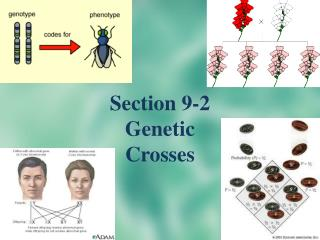 Section 9-2 Genetic Crosses