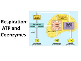 Respiration: ATP and Coenzymes