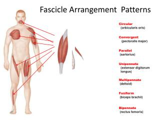 Fascicle Arrangement  Patterns