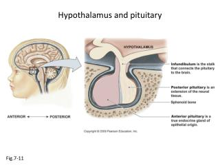 Hypothalamus and pituitary