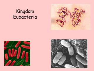 Kingdom  Eubacteria